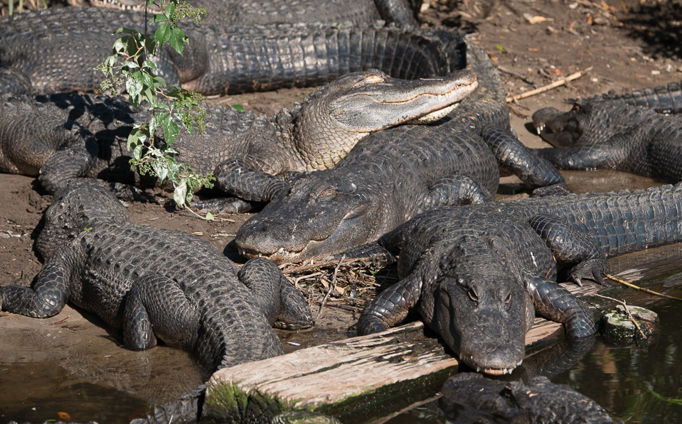 alligators basking in sun