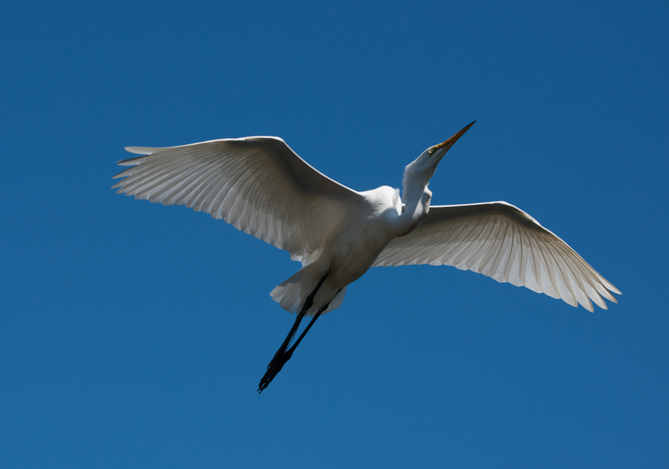 Egret in Flight