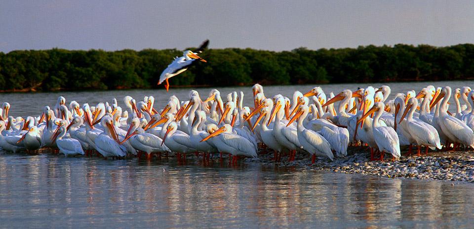 White Pelicans on Charlotte Harbor. Florida's west coast.. Photo courtesy Punta Gorda/Englewood Beach Visitor & Convention Bureau