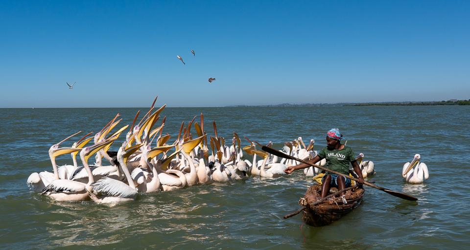 White pelicans on Lake Tana © Charles & Mary Love
