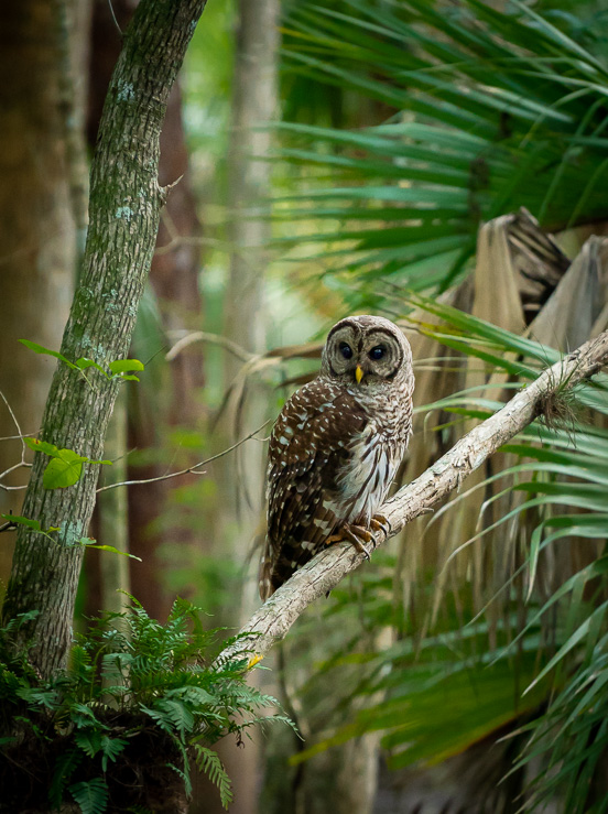 A barred owl at the Babcock Ranch Preserve. © 2018 Charles & Mary Love