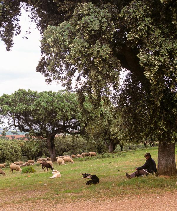 Shepherd overseeing his flock, Alentejo, Portugal © Charles & Mary Love