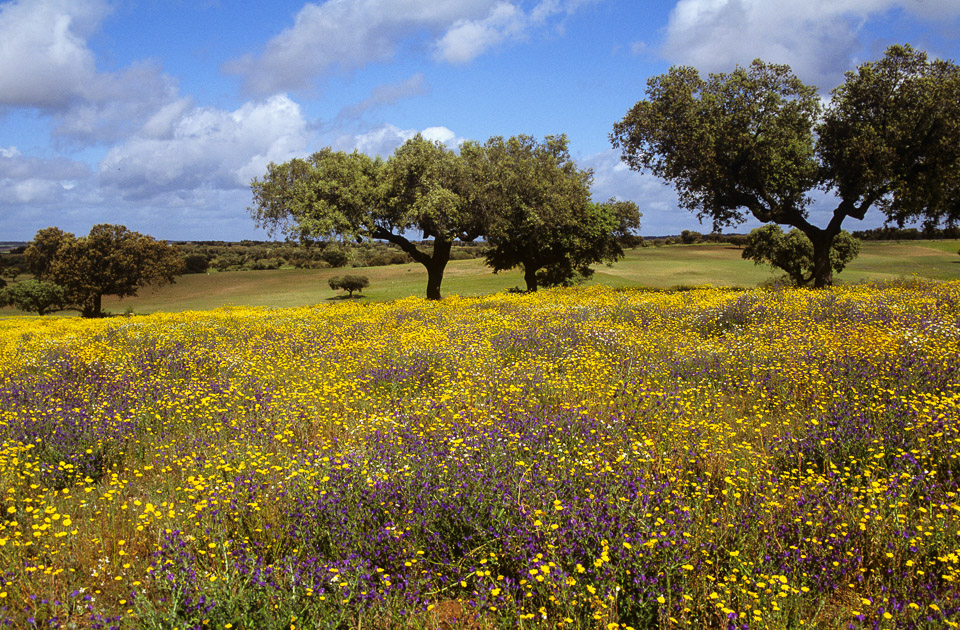 Wildflowers and cork oaks, Alentejo © Charles & Mary Love