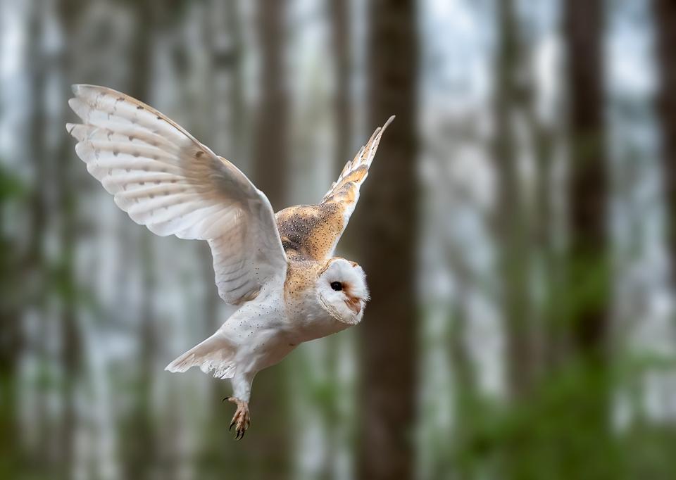 Brittish Barn Owl