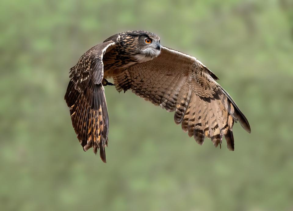 Euarsian Eagle Owl in flight