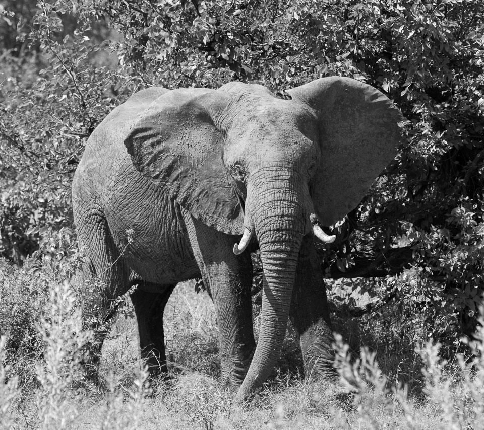 Elephant, East Africa © Charles & Mary Love