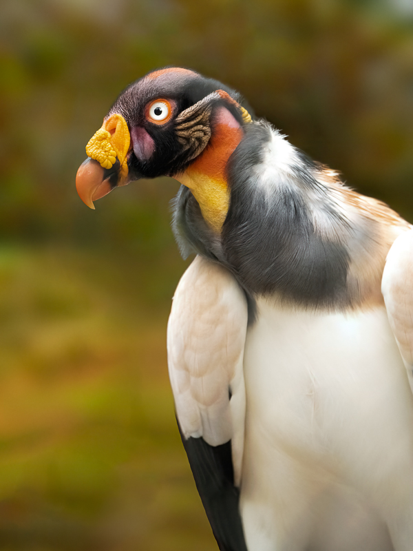 King Vulture © Charles & Mary Love
