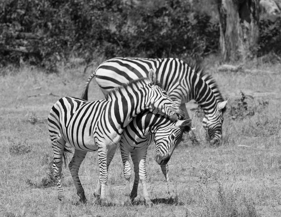Zebras, East Africa © Charles & Mary Love