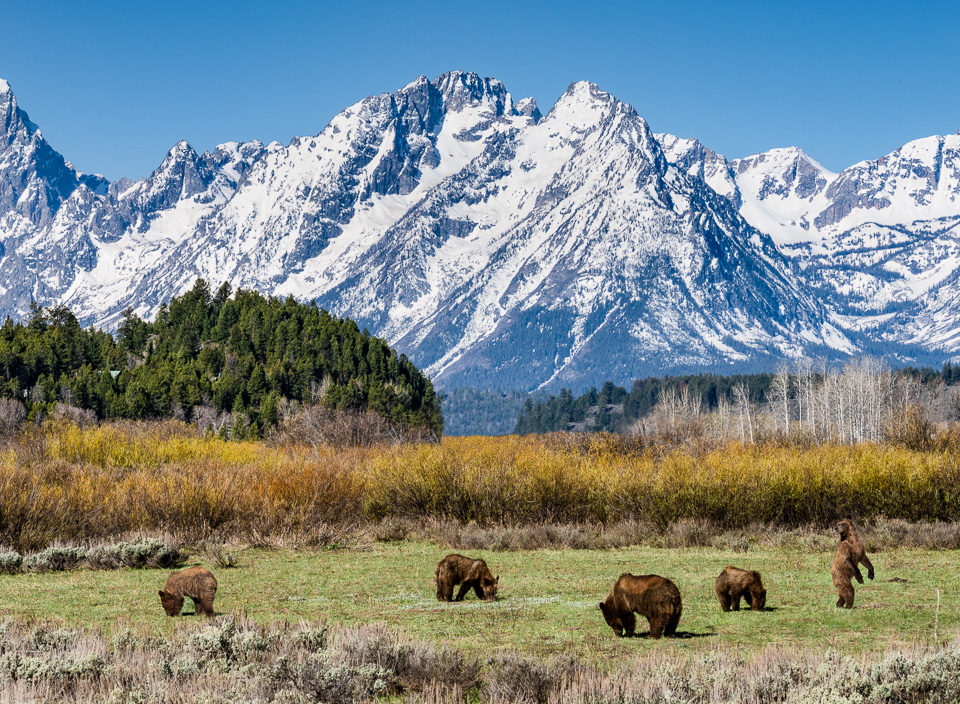 Grizzly 399 and her four cubs. © 2021 Charles & Mary Love