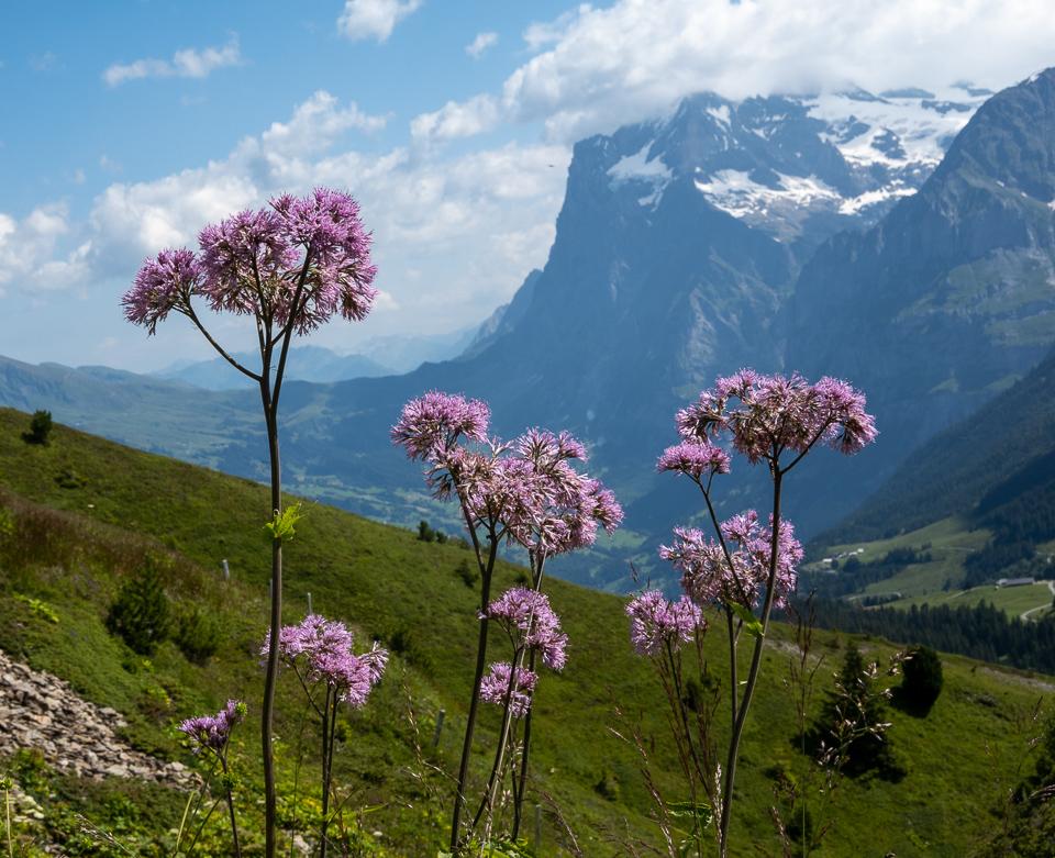 Wildflowers and the Eiger, Kleine Scheidegg © 2021 Charles & Mary Love